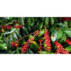 Как выращивают кофейные деревья